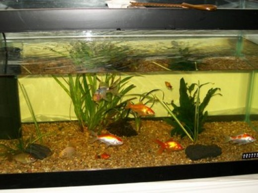 goldfish plant. Goldfish Plants And Their