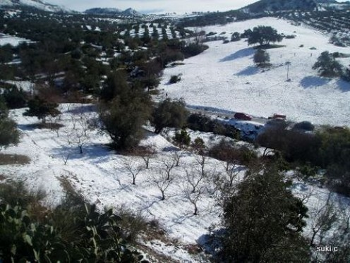 Peach orchard and olive trees in the snow