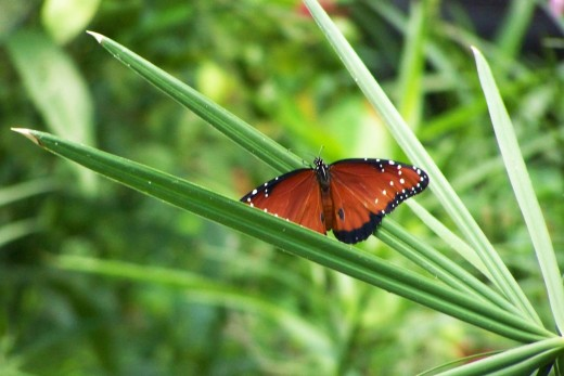 butterfly on a palmetto