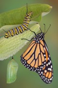 circle of a butterfly's life; egg to caterpillar, chrysalis to adult butterfly