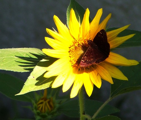 butterfly on a sunflower under our birdfeeder