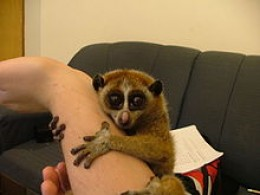 slow LORIS female