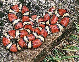 milk snake with venom deadly to humans
