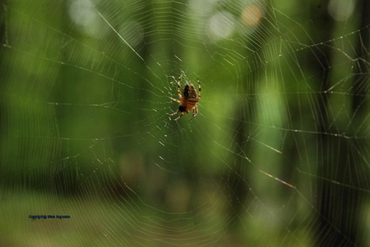 Another look at the orb weaver at work. This is her undersides.