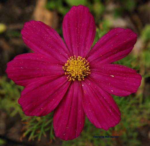The only reds I'm seeing now are in my wife's flower gardens. This is a cosmos.