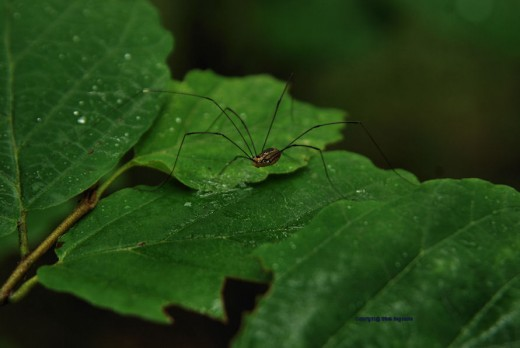 A daddy long legs negotiates leaves on a tree.