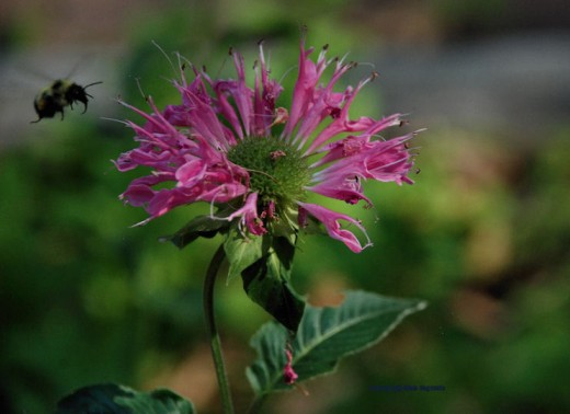 A bee approaches what remains of a bee balm flower in a garden. The bee worked over the whole patch of bee balm.