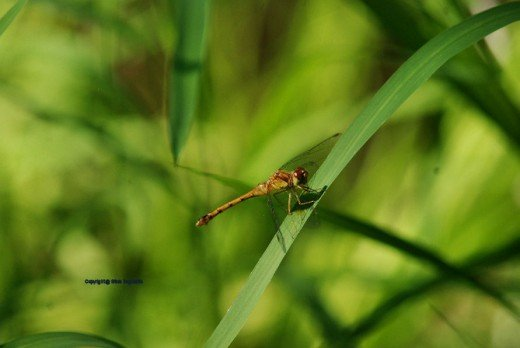 A meadowhawk rests in the swamp.
