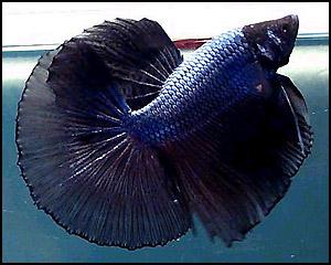 Dark Blue Halfmoon Betta