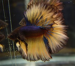 Dark Brown Halfmoon Betta - light brown fin with dark brown tip