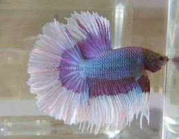 Purple-blue Halfmoon Betta with white fin