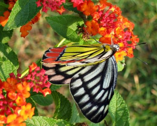Butterfly in Lantana Bush  Tan Pratonix