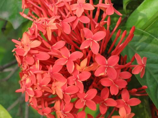 Singapore Ixora  Tan Pratonix