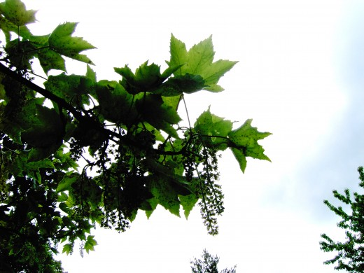 sycamore foliage attracts aphids that attract birds. Photograph by D.A.L.