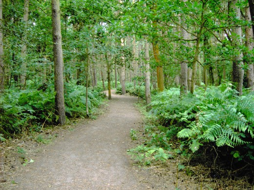 The woodland paths are wide and flat in many places. Photograph by D.A.L.