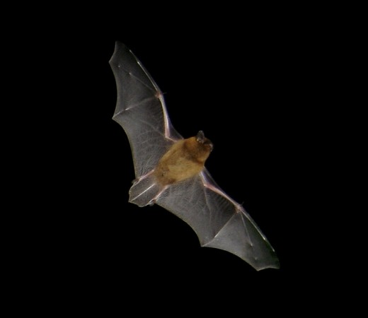 common pipistrelle in flight.PHOTOGRAPH COURTESY OF BARRACUDA