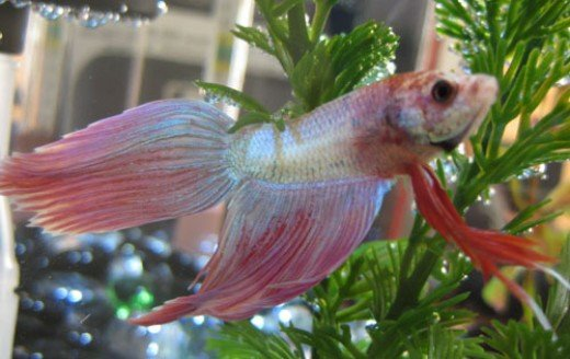 Betta fish care how to maximize the lifespan of your betta for Betta fish life