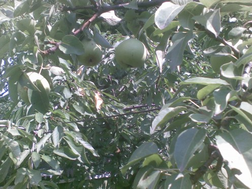 Pear Tree in early stage