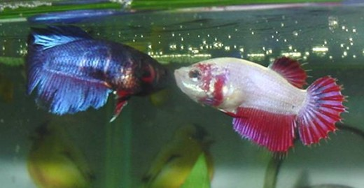 Facts about betta fighting fish for Betta fish behavior
