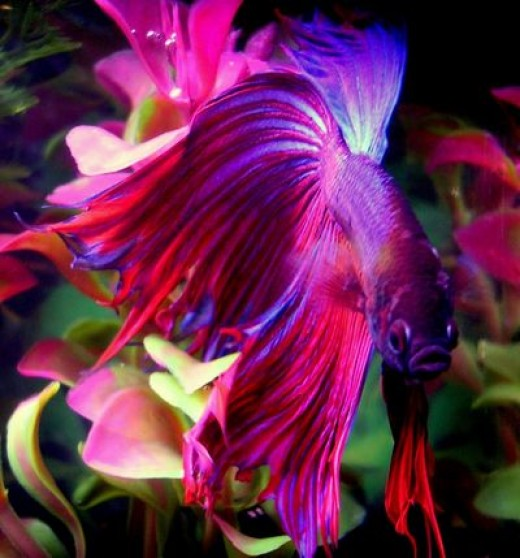 facts about betta fighting fish