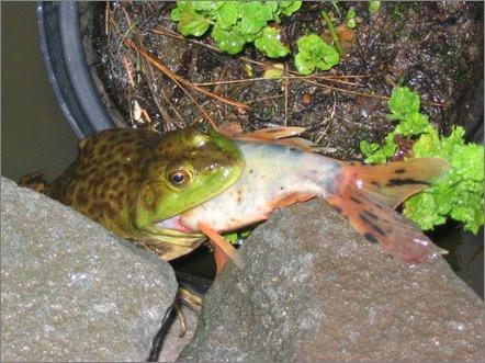 Bullfrog eating a koi.