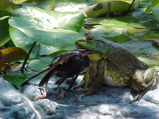 Bullfrog eating a bird.