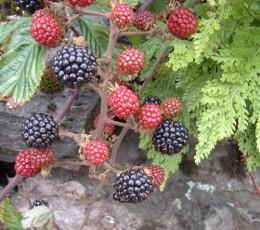 Blackberries. Photo by Steve Andrews