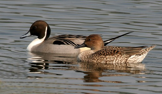 Pintail duck. Photograph by courtesy of J.M.Garg