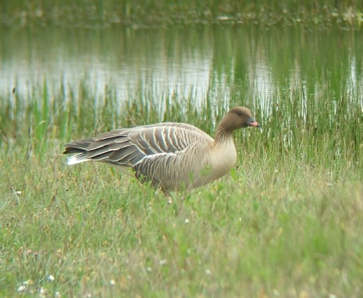 Pink foot Goose arrive in their thousands during early winter.Photograph courtesy of M.P.F.