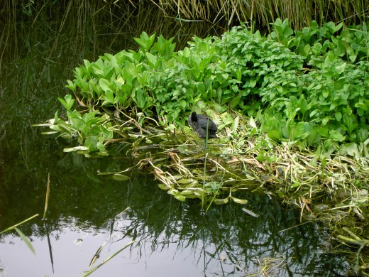 This young coot was born in the surrounding vegetation. PhotograPh by D.A.L.