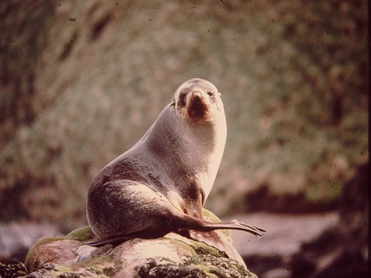 An Australian Furseal, much prized for their pelts by the sealers of the 19th Century