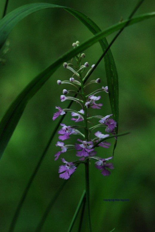 A purple fringed orchid, Platanthera psycodes,is in bloom near the creek.