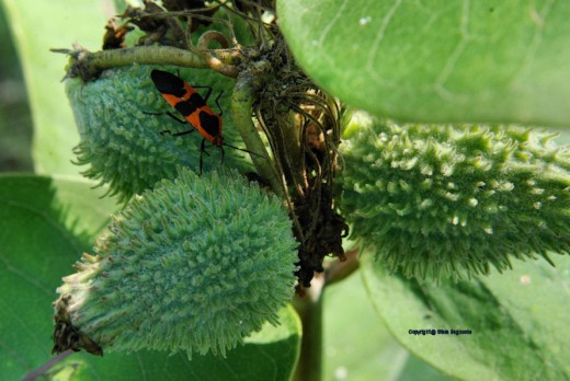 A milkweed bug works on a roadside milkweed. Like monarch butterflies, the orange and black bugs target milkweed and are unaffected by the plant's toxins.According to Michigan State University, the milkweed bug's coloring is a warning it taste's awfu