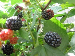 Blackberries in process of ripening
