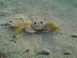 A ghost crab of the Outer Banks