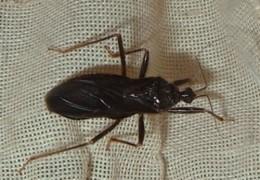 Assassin Bug (Reduvius personatus)