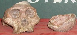 """The fossil nick-named """"Mrs Ples"""" who was actually more likely to have been """"Mr Ples"""" is about 3.15 million years old an was discovered in the Sterkfontein Caves in 1947 by Dr Robert Broom"""