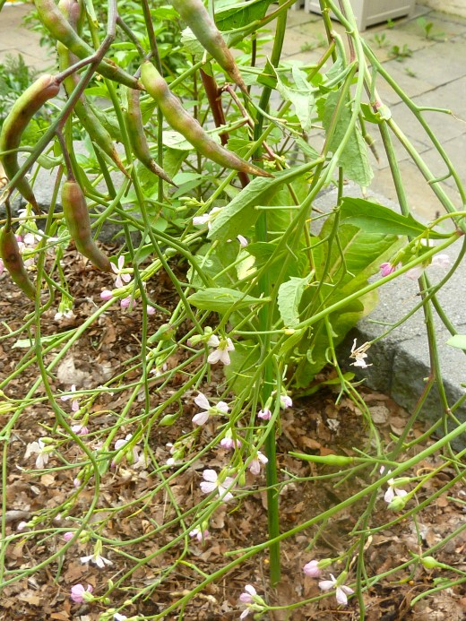 Radish grown in the spring will bolt a go to seed when weather turns hot.