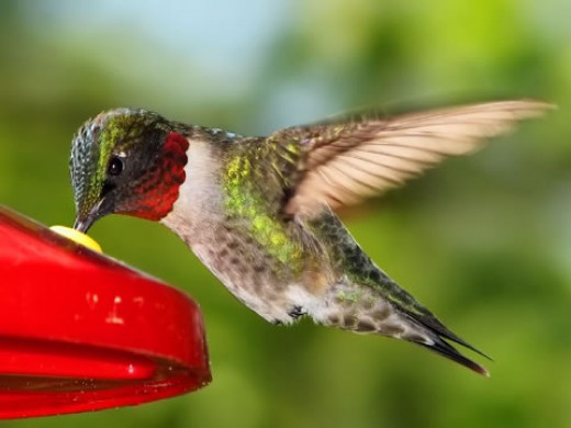 A beautiful hummingbird