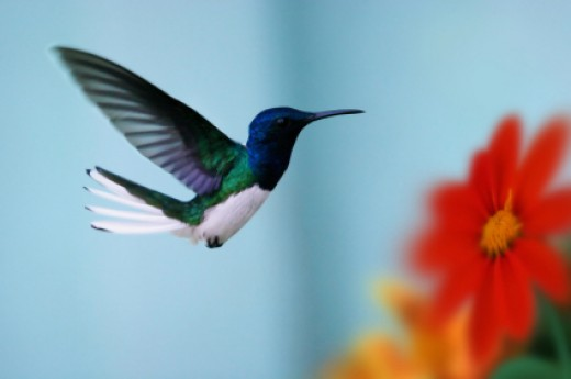 A hummingbird searching for nectar from flowers