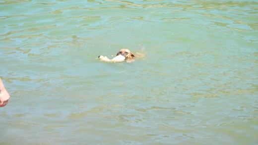 Swimming Molly the Wonder Dog