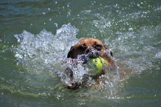 Now that's a water dog!! pics by Audrey Kirchner