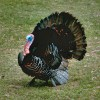 Old long beard hunter shares tips and tricks on calling the wild turkey