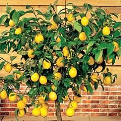 Indoor Fruit Plants Indoor Meyer Lemon Tree