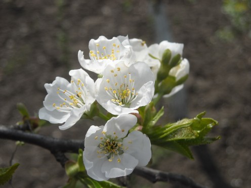 Cherry flowers in spring