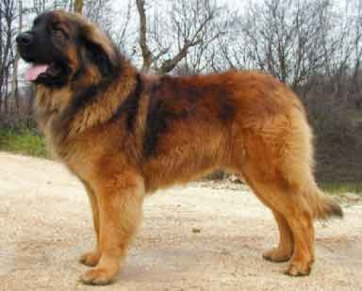 Leonberger Dog Breed