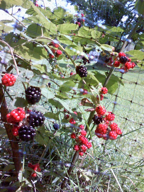 Deer netting protects berries from birds, rabbits and other pests.