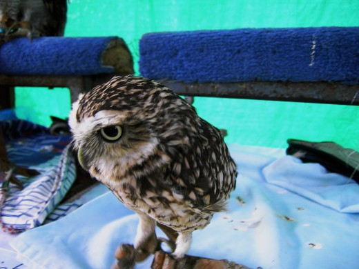 This Little Owl was orphaned and is in the care of Barn Owl Bill. Photograph by D.A.L.