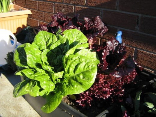 Mixed varieties of lettuce thriving in a large black plastic tub