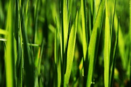 Bermuda grass is a species of grass that is native to hot places in the world